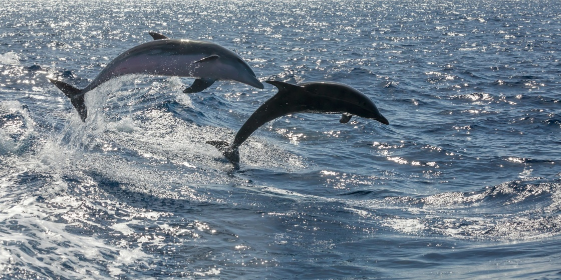 free swimming dolphin (tenerife, spain)
